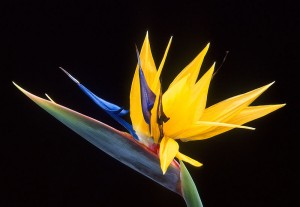 Bird of Paradise from Wikimedia Commons